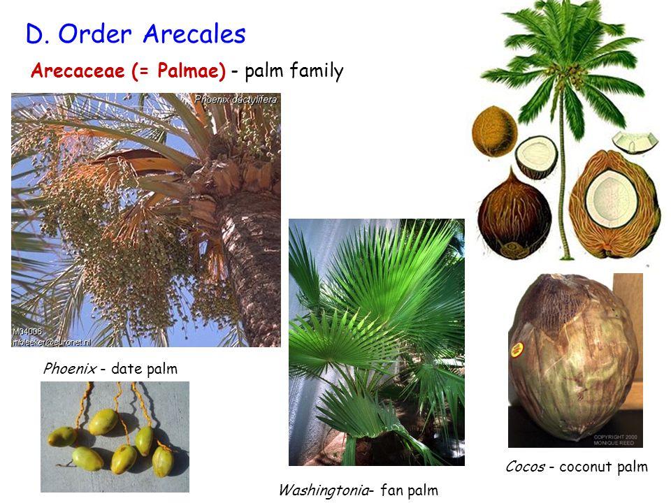 Arecaceae (= Palmae) - palm family D. Order Arecales Washingtonia- fan palm Phoenix - date palm Cocos - coconut palm