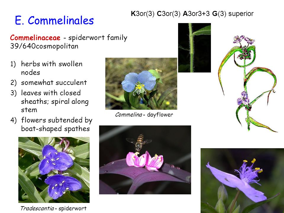 E. Commelinales Commelinaceae - spiderwort family 39/640cosmopolitan 1) herbs with swollen nodes 2) somewhat succulent 3) leaves with closed sheaths;