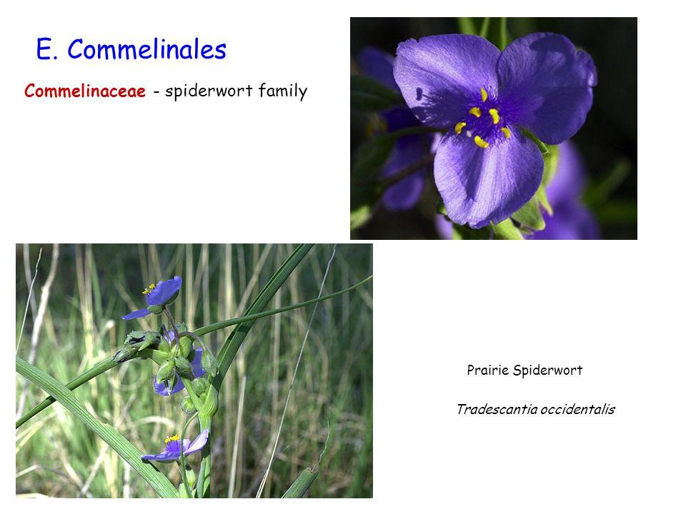 E. Commelinales Commelinaceae - spiderwort family Prairie Spiderwort Tradescantia occidentalis