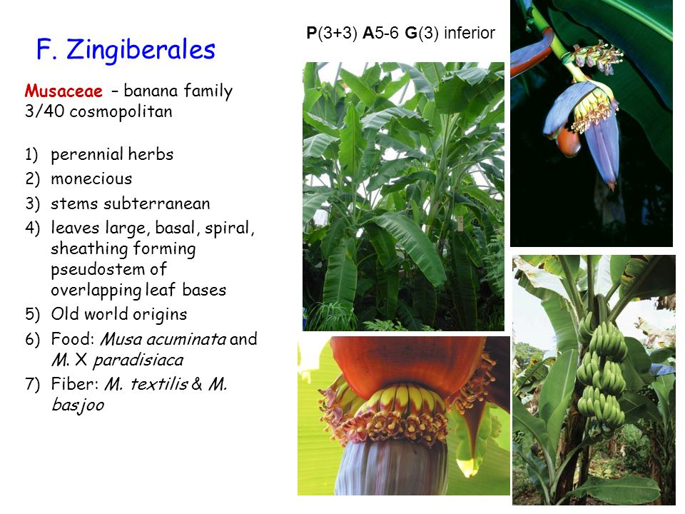 F. Zingiberales Musaceae – banana family 3/40 cosmopolitan 1) perennial herbs 2) monecious 3) stems subterranean 4) leaves large, basal, spiral, sheat
