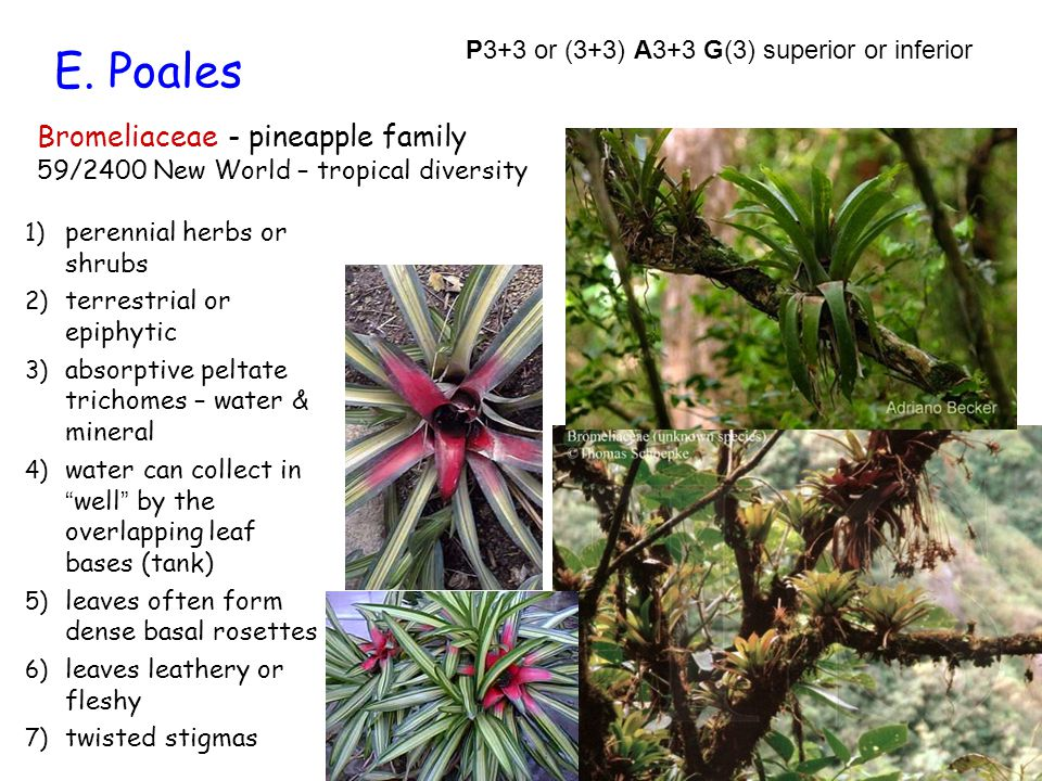 E. Poales Bromeliaceae - pineapple family 59/2400 New World – tropical diversity 1) perennial herbs or shrubs 2) terrestrial or epiphytic 3) absorptiv