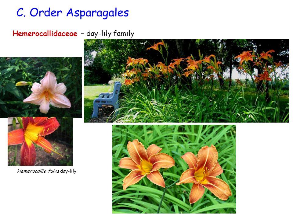 C. Order Asparagales Hemerocallis fulva day-lily Hemerocallidaceae – day-lily family
