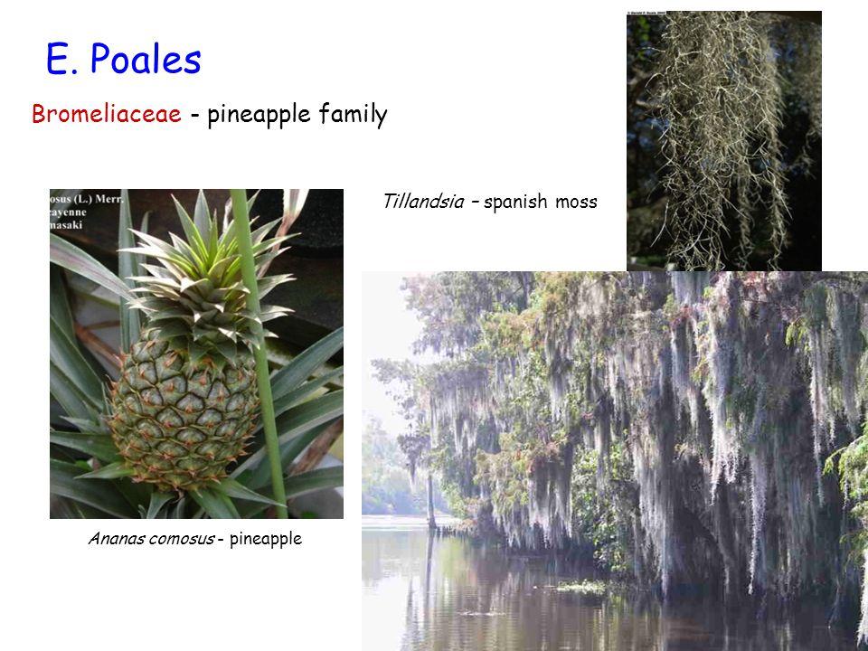 E. Poales Bromeliaceae - pineapple family Ananas comosus - pineapple Tillandsia – spanish moss