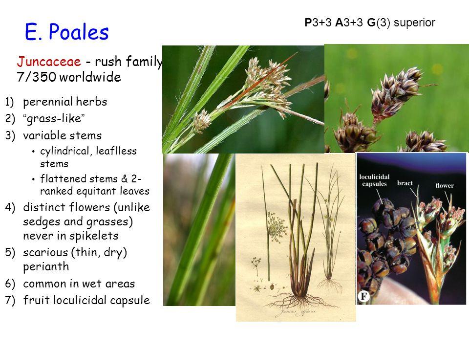 "E. Poales Juncaceae - rush family 7/350 worldwide 1) perennial herbs 2) ""grass-like"" 3) variable stems cylindrical, leaflless stems flattened stems &"