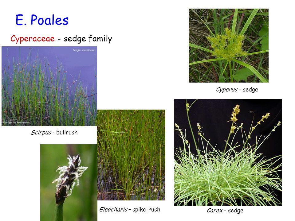 E. Poales Cyperaceae - sedge family Cyperus - sedge Scirpus - bullrush Carex - sedge Eleocharis – spike-rush