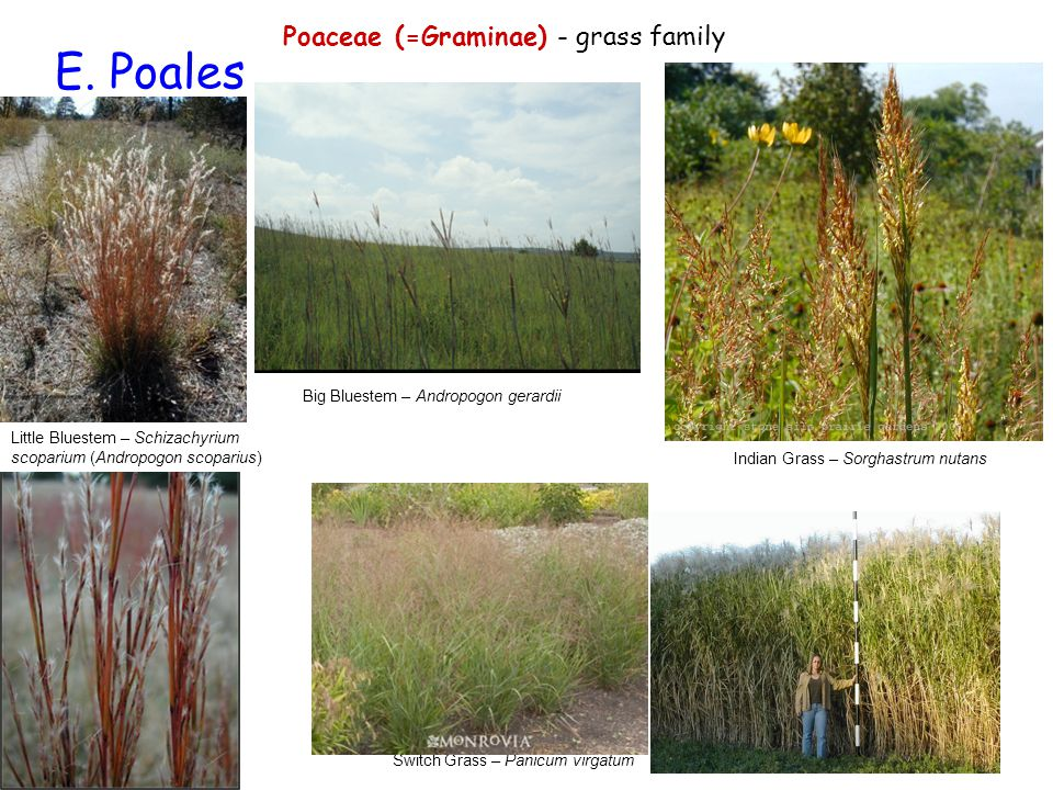 E. Poales Poaceae (=Graminae) - grass family Little Bluestem – Schizachyrium scoparium (Andropogon scoparius) Big Bluestem – Andropogon gerardii Switc