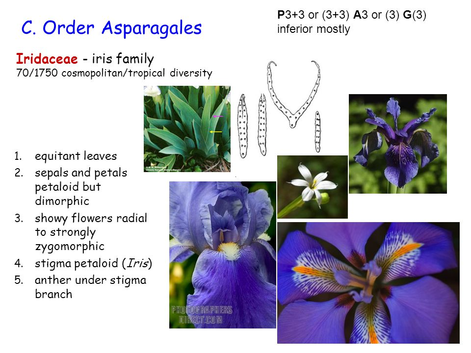 Iridaceae - iris family 70/1750 cosmopolitan/tropical diversity 1. equitant leaves 2. sepals and petals petaloid but dimorphic 3. showy flowers radial