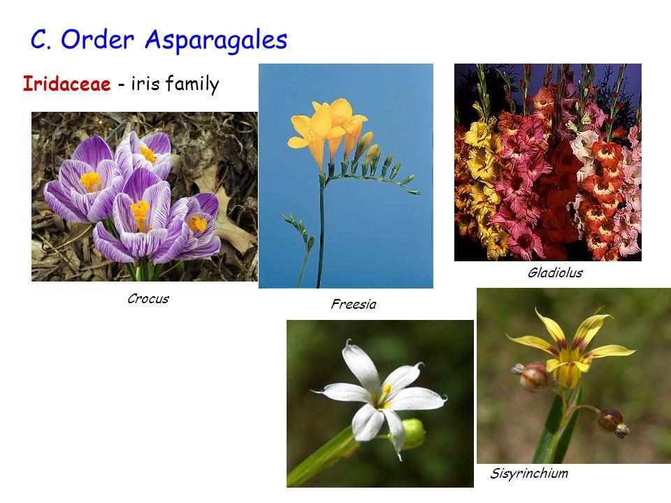 Iridaceae - iris family C. Order Asparagales Crocus Gladiolus Freesia Sisyrinchium