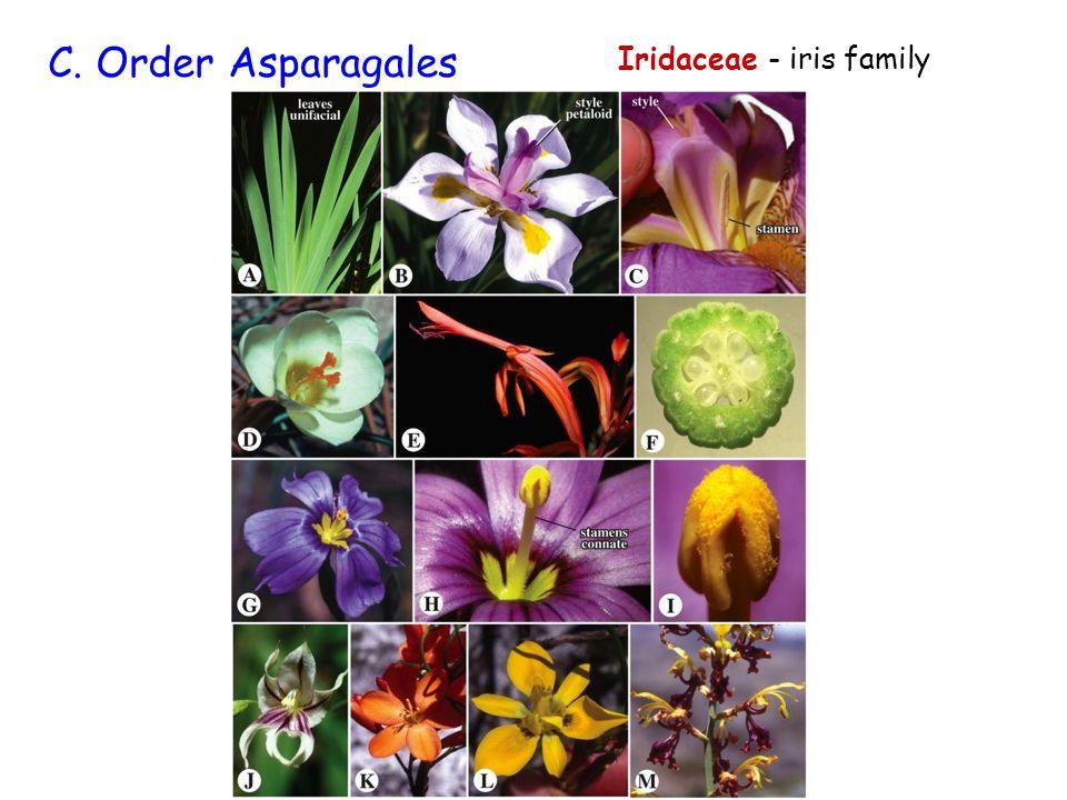 Iridaceae - iris family C. Order Asparagales