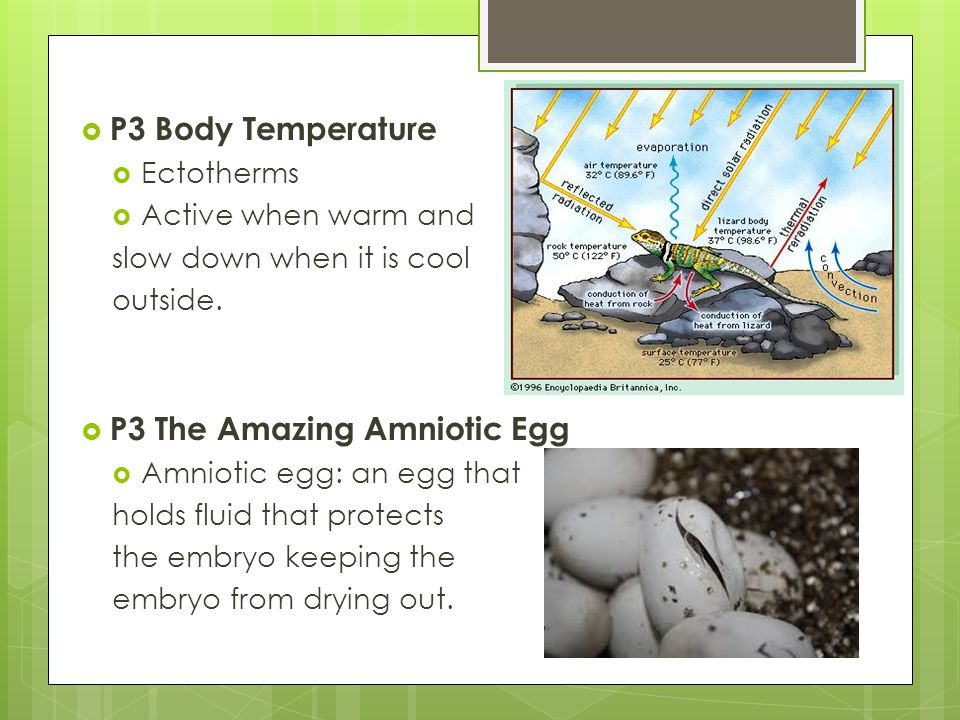  P3 Body Temperature  Ectotherms  Active when warm and slow down when it is cool outside.  P3 The Amazing Amniotic Egg  Amniotic egg: an egg that