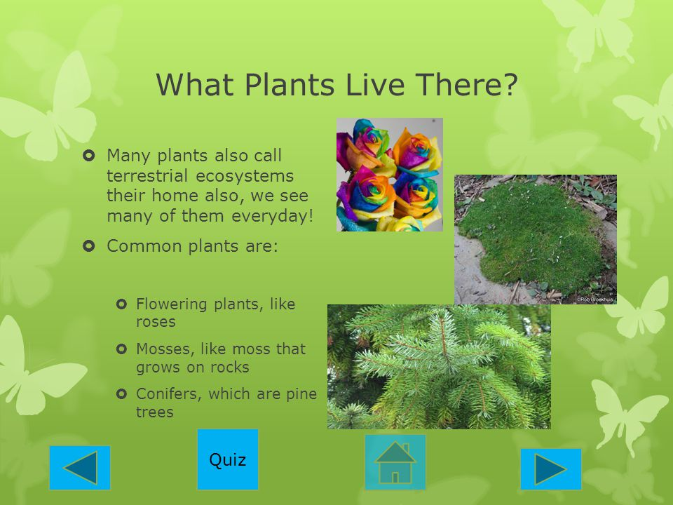 What Plants Live There?  Many plants also call terrestrial ecosystems their home also, we see many of them everyday!  Common plants are:  Flowering