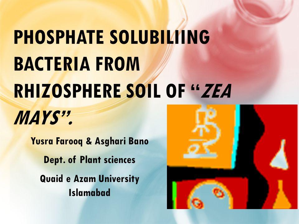 PHOSPHATE SOLUBILIING BACTERIA FROM RHIZOSPHERE SOIL OF ZEA MAYS .