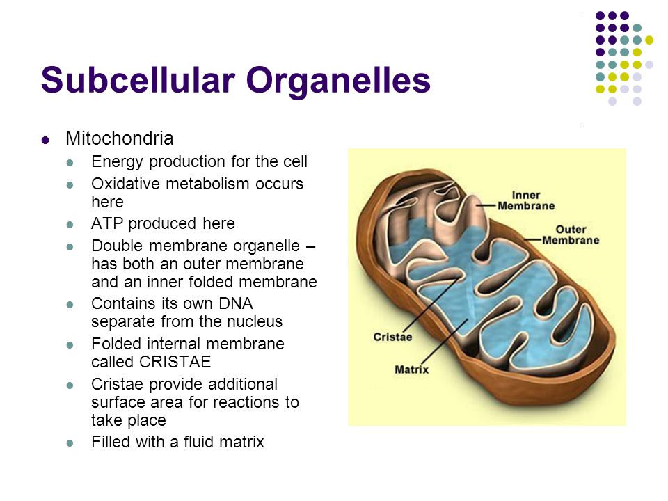Subcellular Organelles Mitochondria Energy production for the cell Oxidative metabolism occurs here ATP produced here Double membrane organelle – has both an outer membrane and an inner folded membrane Contains its own DNA separate from the nucleus Folded internal membrane called CRISTAE Cristae provide additional surface area for reactions to take place Filled with a fluid matrix