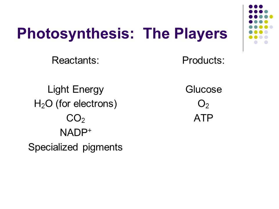 Photosynthesis: The Players Reactants: Light Energy H 2 O (for electrons) CO 2 NADP + Specialized pigments Products: Glucose O 2 ATP
