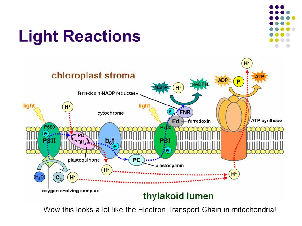 Light Reactions Wow this looks a lot like the Electron Transport Chain in mitochondria!