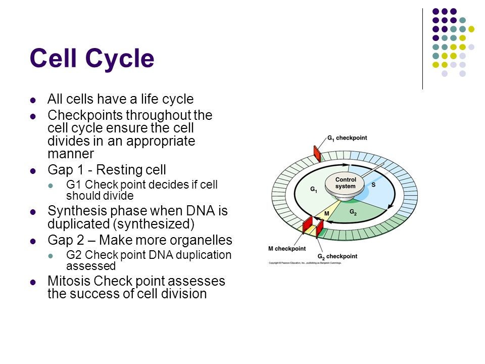 Cell Cycle All cells have a life cycle Checkpoints throughout the cell cycle ensure the cell divides in an appropriate manner Gap 1 - Resting cell G1 Check point decides if cell should divide Synthesis phase when DNA is duplicated (synthesized) Gap 2 – Make more organelles G2 Check point DNA duplication assessed Mitosis Check point assesses the success of cell division