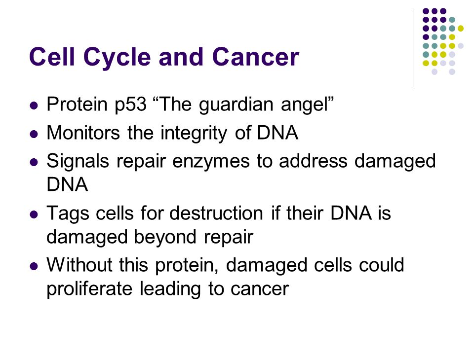 Cell Cycle and Cancer Protein p53 The guardian angel Monitors the integrity of DNA Signals repair enzymes to address damaged DNA Tags cells for destruction if their DNA is damaged beyond repair Without this protein, damaged cells could proliferate leading to cancer