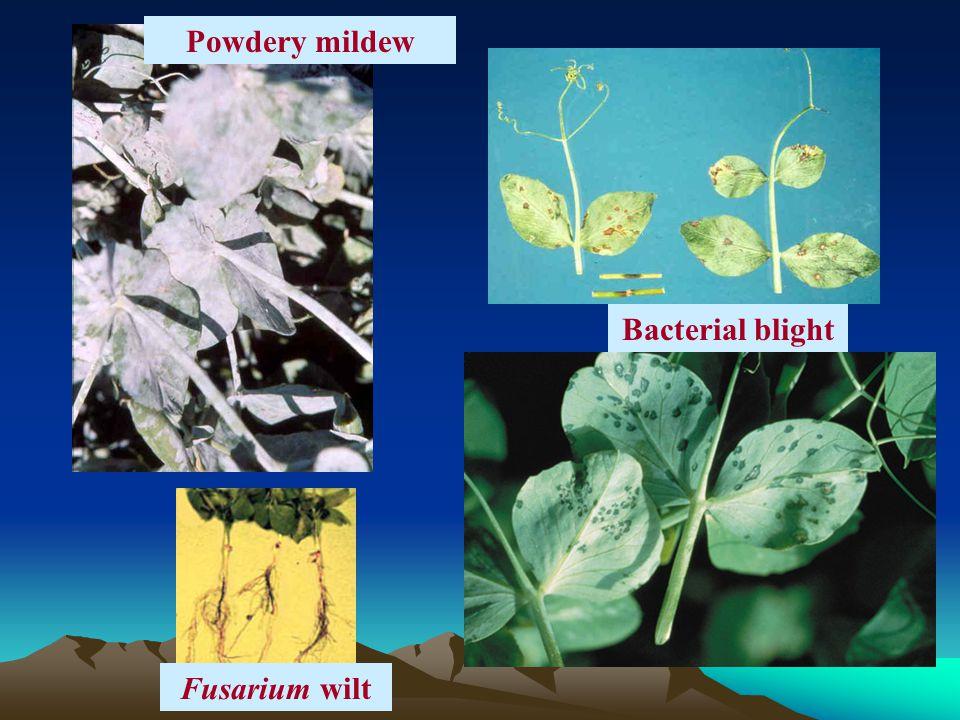 Powdery mildew Bacterial blight Fusarium wilt