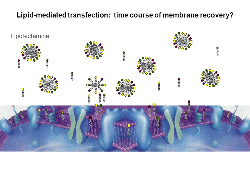 Lipofectamine Lipid-mediated transfection: time course of membrane recovery