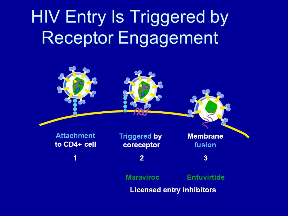HIV Entry Is Triggered by Receptor Engagement Attachment to CD4+ cell Triggered by coreceptor Membrane fusion 123 MaravirocEnfuvirtide Licensed entry inhibitors