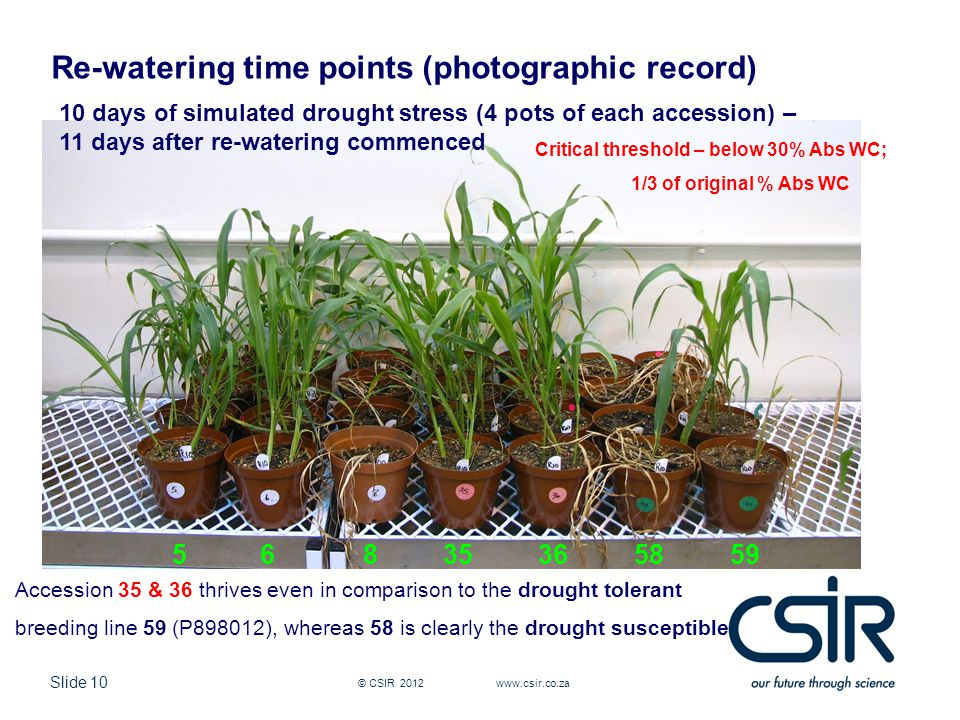 Slide 10 © CSIR Re-watering time points (photographic record) 10 days of simulated drought stress (4 pots of each accession) – 11 days after re-watering commenced Accession 35 & 36 thrives even in comparison to the drought tolerant breeding line 59 (P898012), whereas 58 is clearly the drought susceptible Critical threshold – below 30% Abs WC; 1/3 of original % Abs WC