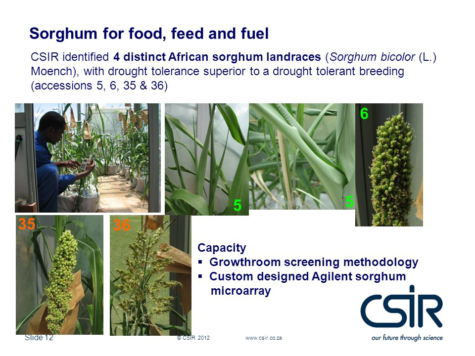 Slide 12 © CSIR 2012 www.csir.co.za Sorghum for food, feed and fuel 5 5 CSIR identified 4 distinct African sorghum landraces (Sorghum bicolor (L.) Moench), with drought tolerance superior to a drought tolerant breeding (accessions 5, 6, 35 & 36) 6 35 36 Capacity  Growthroom screening methodology  Custom designed Agilent sorghum microarray