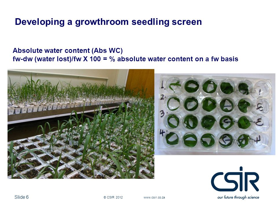 Slide 6 © CSIR 2012 www.csir.co.za Absolute water content (Abs WC) fw-dw (water lost)/fw X 100 = % absolute water content on a fw basis Developing a growthroom seedling screen