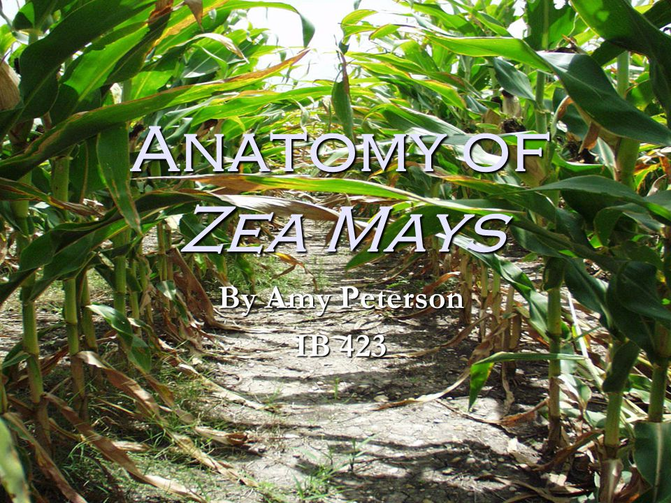 Anatomy of Zea Mays By Amy Peterson IB 423