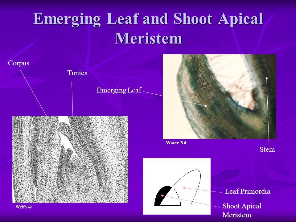 Emerging Leaf and Shoot Apical Meristem Water X4 Webb © Tunica Corpus Emerging Leaf Stem Leaf Primordia Shoot Apical Meristem