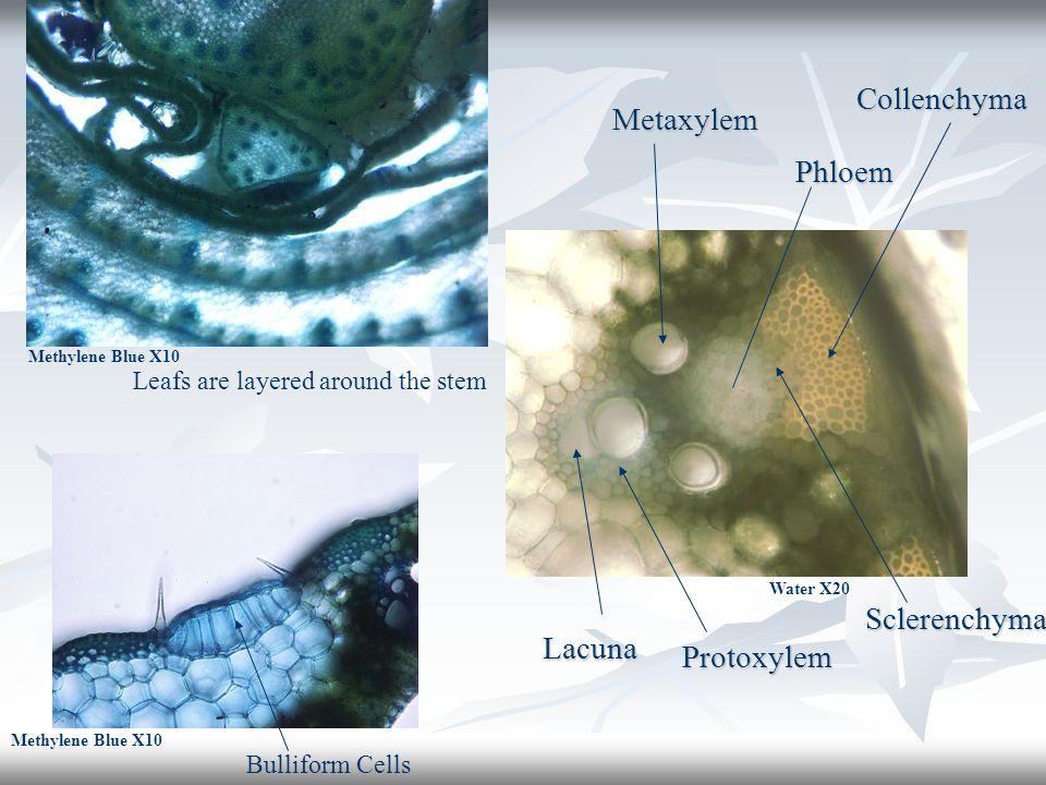 Bulliform Cells Leafs are layered around the stem Water X20 Metaxylem Sclerenchyma Phloem Lacuna Protoxylem Methylene Blue X10 Collenchyma
