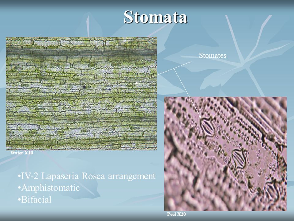 Stomata Water X10 Peel X20 Stomates IV-2 Lapaseria Rosea arrangement Amphistomatic Bifacial