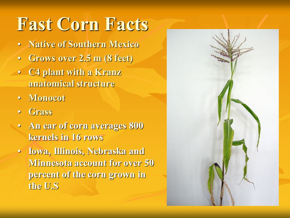 Fast Corn Facts Native of Southern MexicoNative of Southern Mexico Grows over 2.5 m (8 feet)Grows over 2.5 m (8 feet) C4 plant with a Kranz anatomical