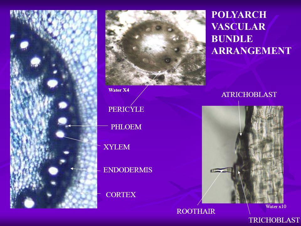 Water X4 TRICHOBLAST ATRICHOBLAST ROOTHAIR Water x10 XYLEM PHLOEM ENDODERMIS PERICYLE CORTEX POLYARCH VASCULAR BUNDLE ARRANGEMENT