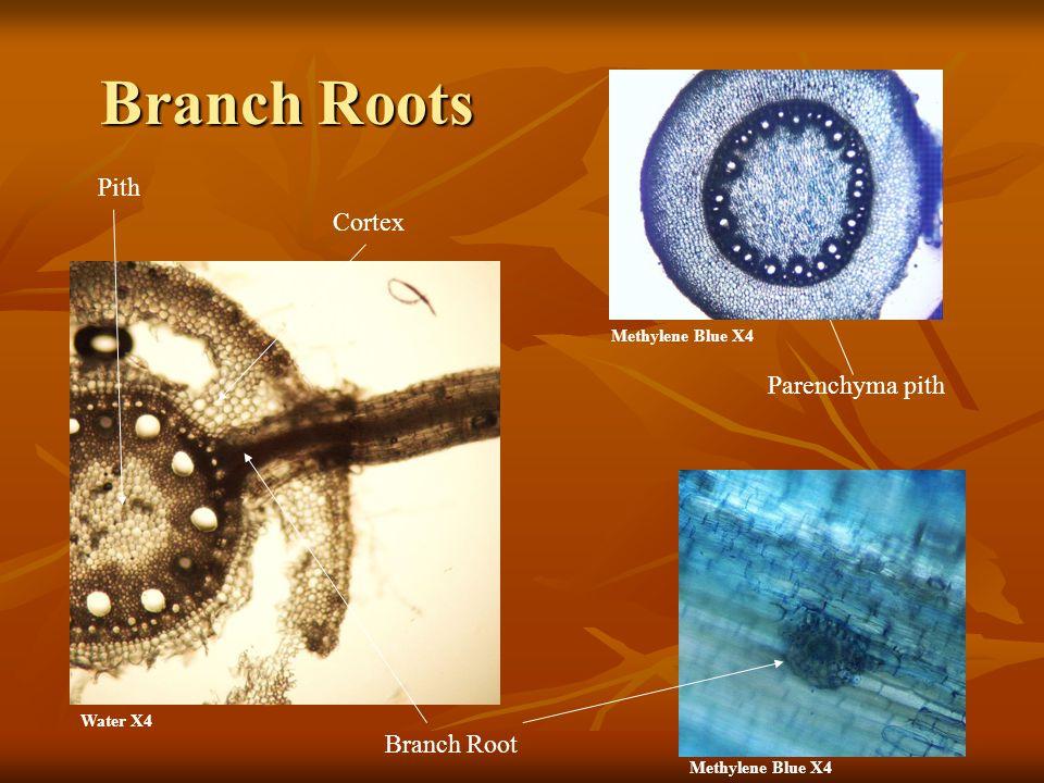Branch Roots Branch Root Cortex Pith Methylene Blue X4 Water X4 Parenchyma pith Methylene Blue X4