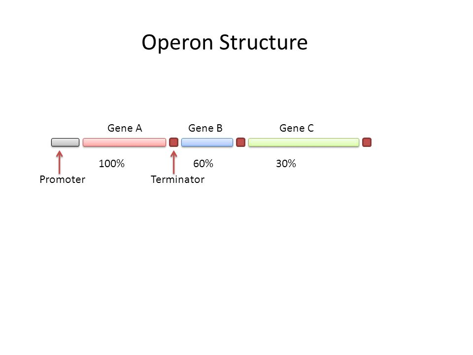 Operon Structure Gene AGene BGene C TerminatorPromoter 100%60%30%