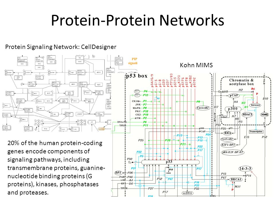Protein-Protein Networks Protein Signaling Network: CellDesigner Kohn MIMS 20% of the human protein-coding genes encode components of signaling pathways, including transmembrane proteins, guanine- nucleotide binding proteins (G proteins), kinases, phosphatases and proteases.