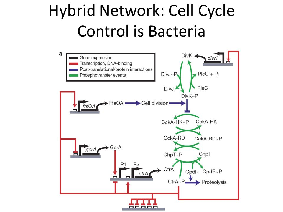 Hybrid Network: Cell Cycle Control is Bacteria