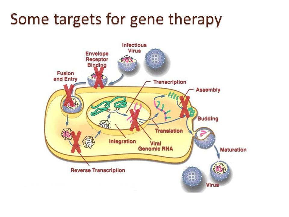 Gene Therapy- Vectors to deliver anti-HIV genes  LV- Lentivirus vectors  RV- gammaretroviral vectors,  AAV – adeno- associated vectors  Adenovirus vectors  Vectors are replication defective – so they cannot replicate and spread once they are inside the cells and after delivering the anti-HIV genes