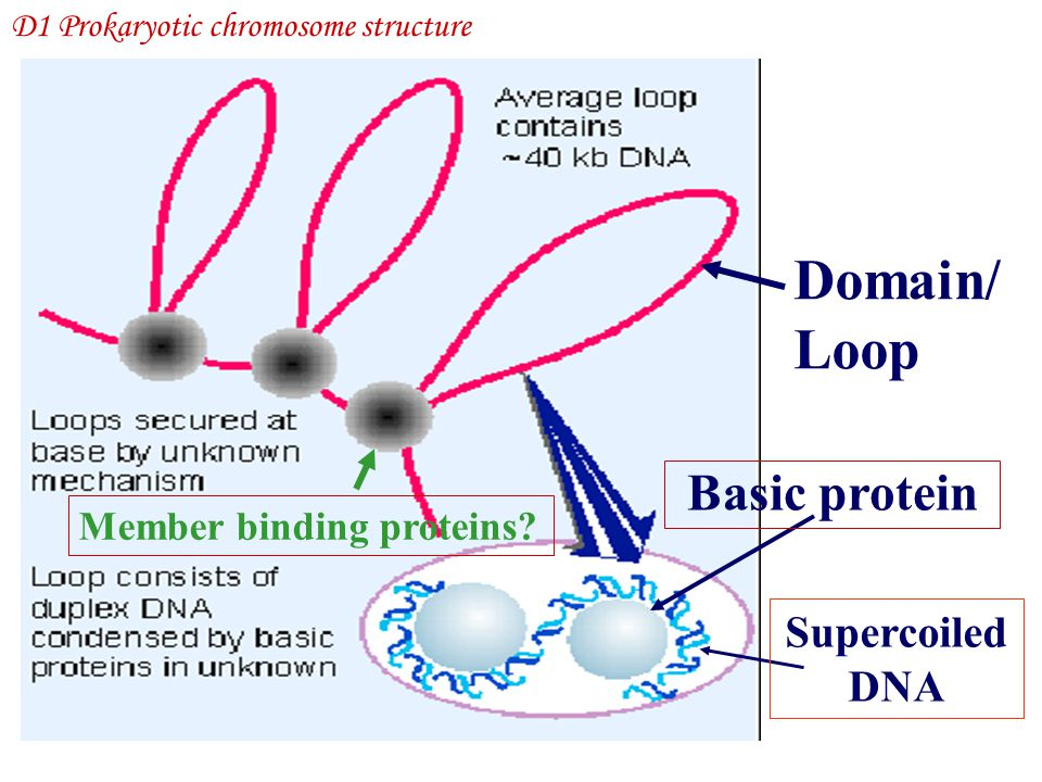 Domain/ Loop Basic protein Supercoiled DNA Member binding proteins? D1 Prokaryotic chromosome structure
