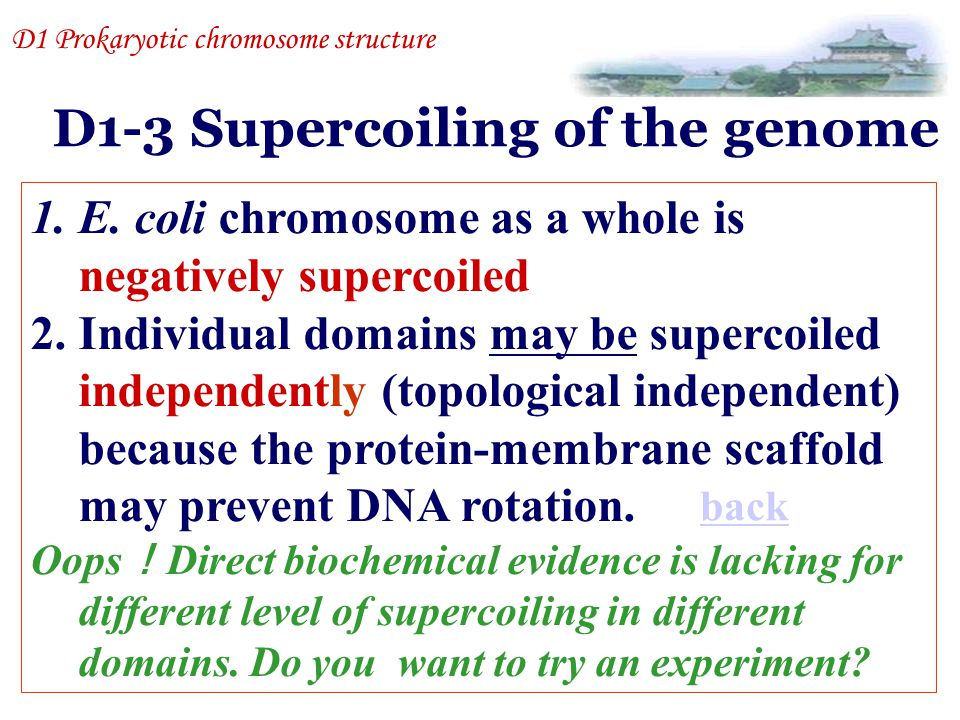 D1-3 Supercoiling of the genome 1.E. coli chromosome as a whole is negatively supercoiled 2.Individual domains may be supercoiled independently (topol