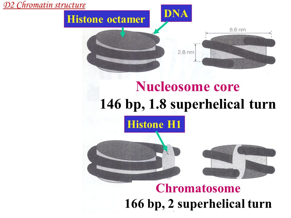 Nucleosome core 146 bp, 1.8 superhelical turn Chromatosome 166 bp, 2 superhelical turn DNA Histone octamer Histone H1 D2 Chromatin structure