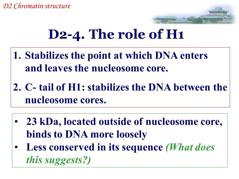 D2-4. The role of H1 D2 Chromatin structure 23 kDa, located outside of nucleosome core, binds to DNA more loosely Less conserved in its sequence (What