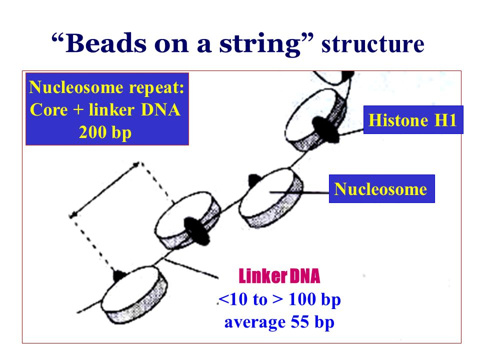 """Linker DNA 100 bp average 55 bp """"Beads on a string"""" structure Nucleosome Histone H1 Nucleosome repeat: Core + linker DNA 200 bp"""