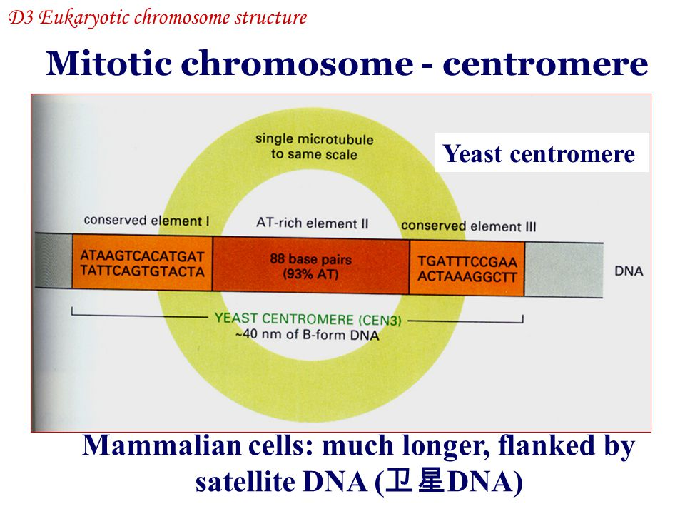 Mitotic chromosome - centromere Yeast centromere Mammalian cells: much longer, flanked by satellite DNA ( 卫星 DNA) D3 Eukaryotic chromosome structure