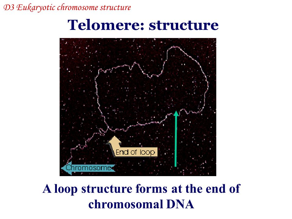 A loop structure forms at the end of chromosomal DNA Telomere: structure D3 Eukaryotic chromosome structure