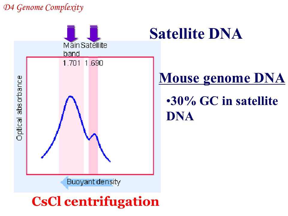 Satellite DNA Mouse genome DNA 30% GC in satellite DNA D4 Genome Complexity CsCl centrifugation