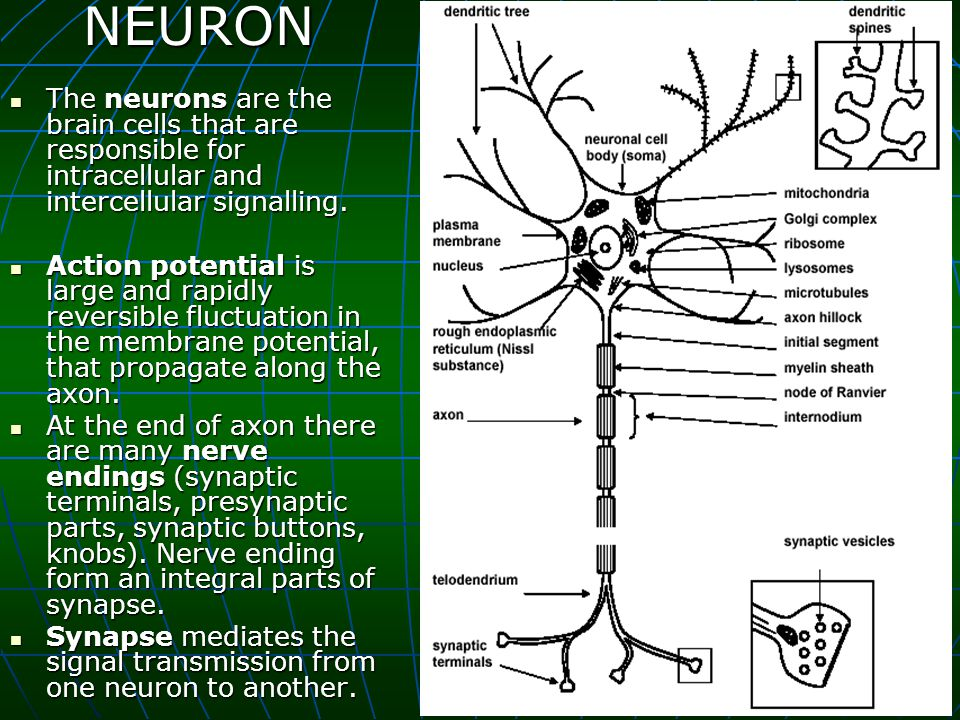 NEURON The neurons are the brain cells that are responsible for intracellular and intercellular signalling.