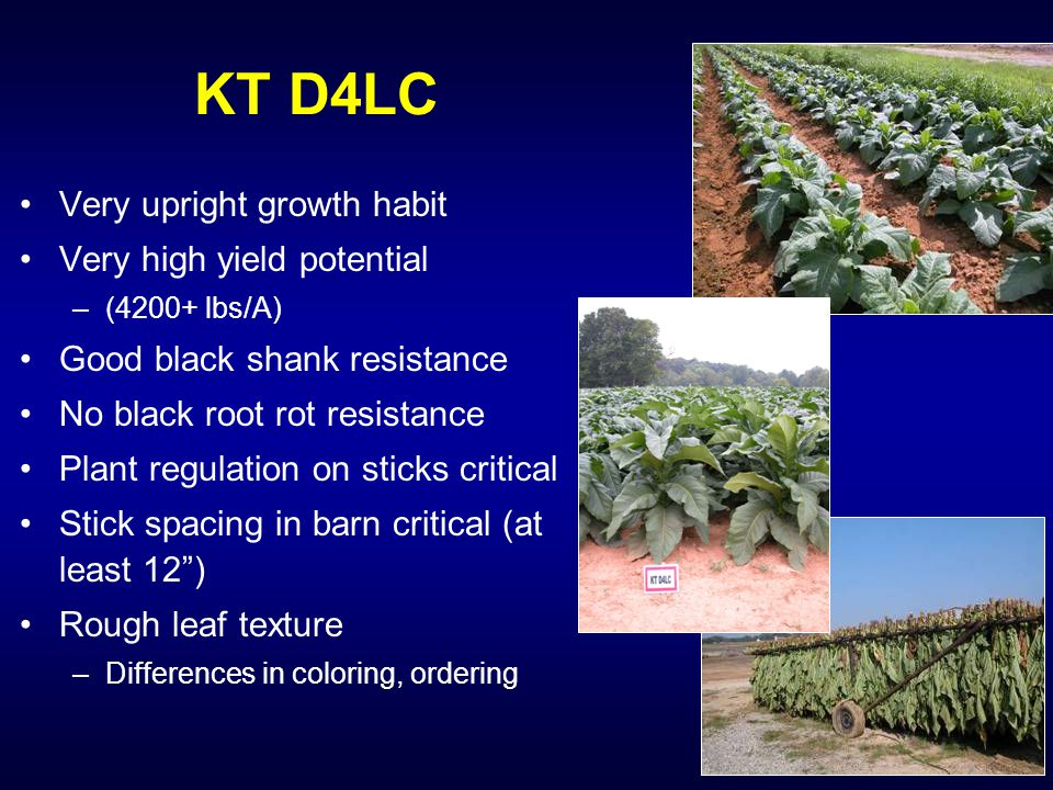 KT D4LC Very upright growth habit Very high yield potential –(4200+ lbs/A) Good black shank resistance No black root rot resistance Plant regulation on sticks critical Stick spacing in barn critical (at least 12 ) Rough leaf texture –Differences in coloring, ordering