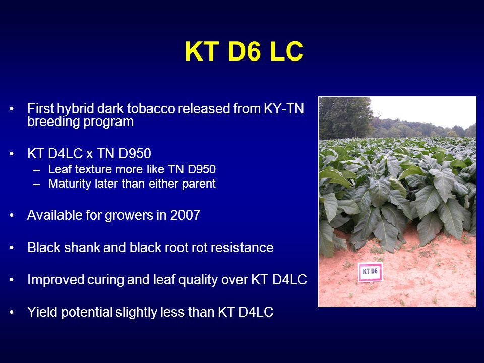 KT D6 LC First hybrid dark tobacco released from KY-TN breeding program KT D4LC x TN D950 –Leaf texture more like TN D950 –Maturity later than either parent Available for growers in 2007 Black shank and black root rot resistance Improved curing and leaf quality over KT D4LC Yield potential slightly less than KT D4LC