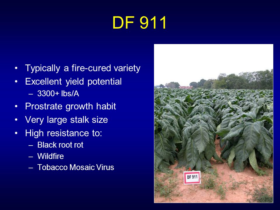 DF 911 Typically a fire-cured variety Excellent yield potential –3300+ lbs/A Prostrate growth habit Very large stalk size High resistance to: –Black root rot –Wildfire –Tobacco Mosaic Virus